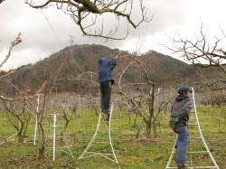 桃の畑の様子